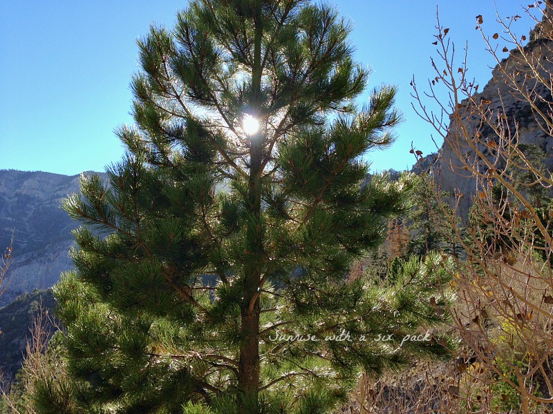 Pine Tree in the sun